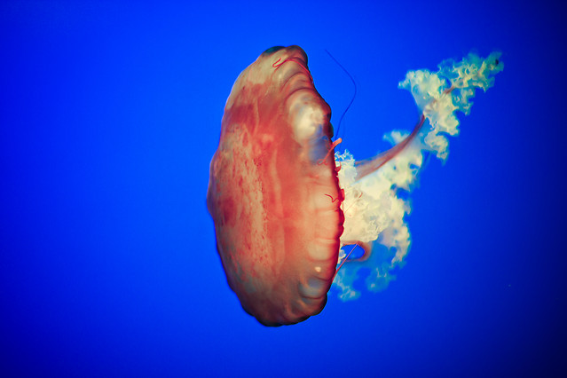 underwater-jellyfish-ocean-sea-fish picture material
