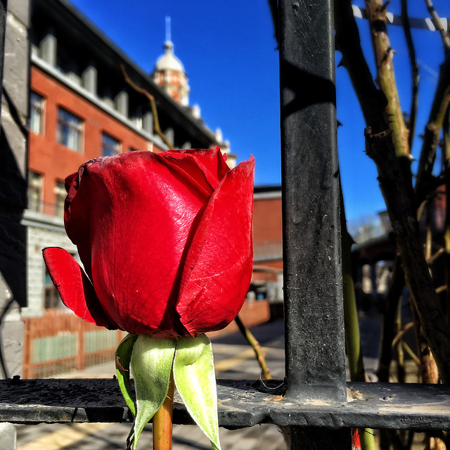 flower-rose-love-street-city picture material