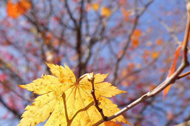 fall-leaf-maple-no-person-season picture material