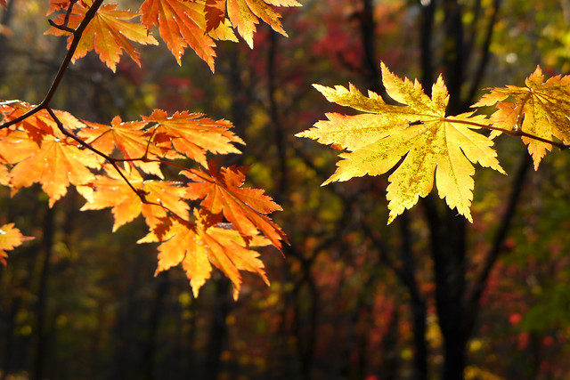 leaf-fall-no-person-maple-nature picture material
