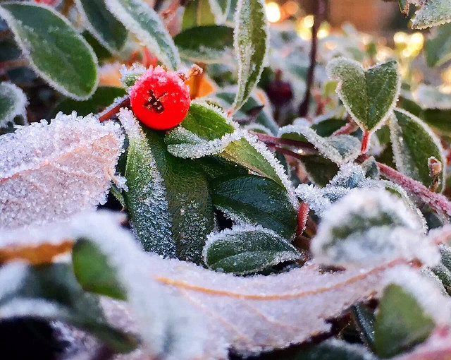winter-no-person-leaf-frost-fruit picture material