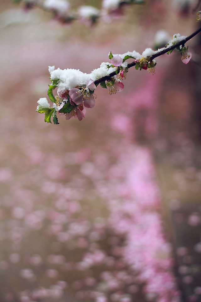 flower-nature-cherry-tree-no-person 图片素材