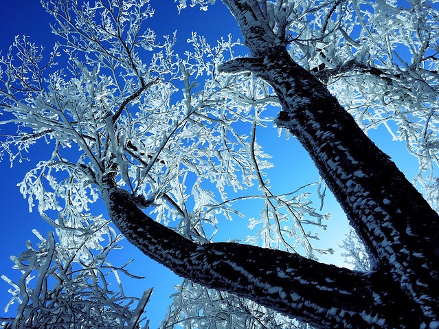 winter-tree-snow-cold-frost picture material