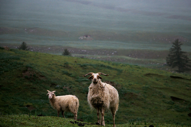 sheep-no-person-mammal-grass-landscape 图片素材
