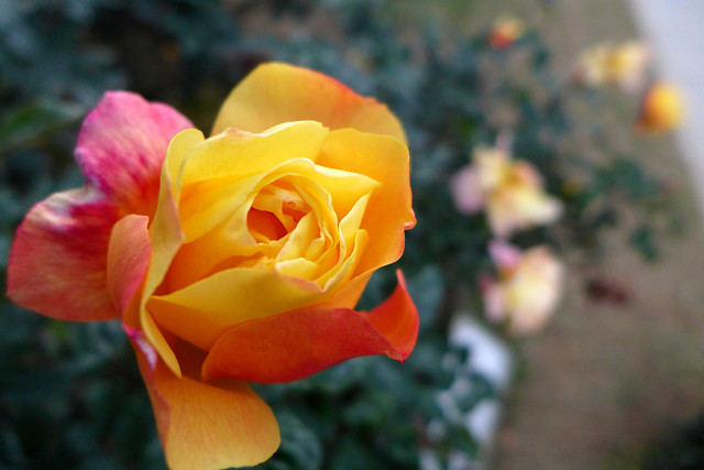 flower-no-person-nature-rose-garden picture material