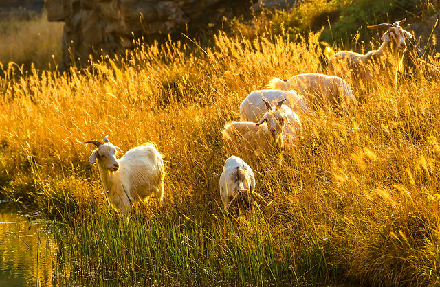 grass-nature-field-outdoors-sheep picture material