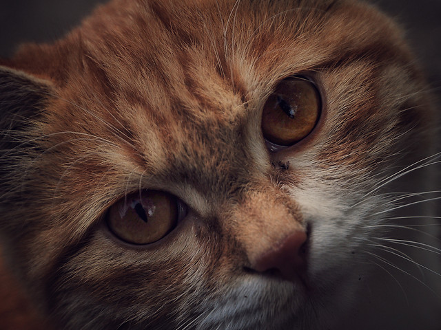 cat-mammal-portrait-eye-animal 图片素材