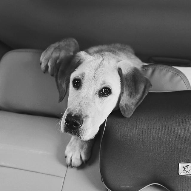 dog-monochrome-pet-animal-portrait picture material