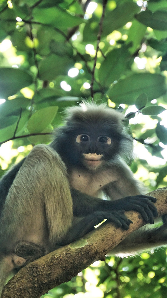 monkey-primate-wildlife-mammal-jungle picture material