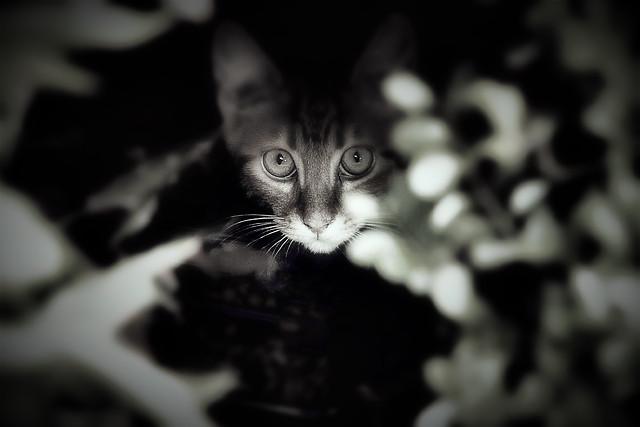 cat-portrait-monochrome-black-black-white picture material