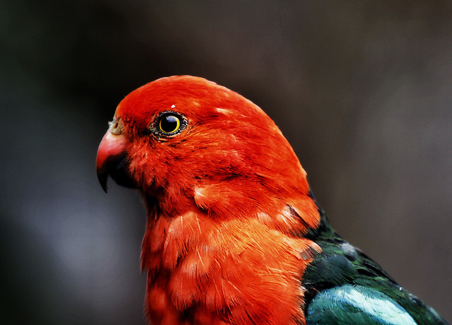 bird-parrot-wildlife-no-person-feather picture material