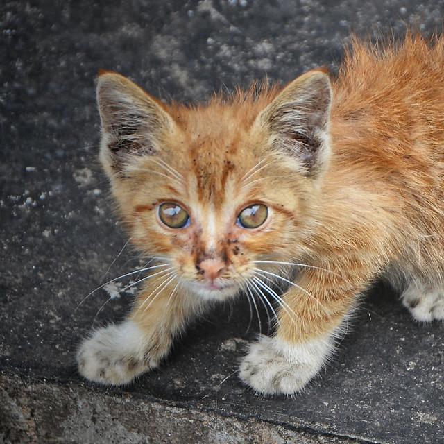 cat-cute-animal-kitten-mammal picture material