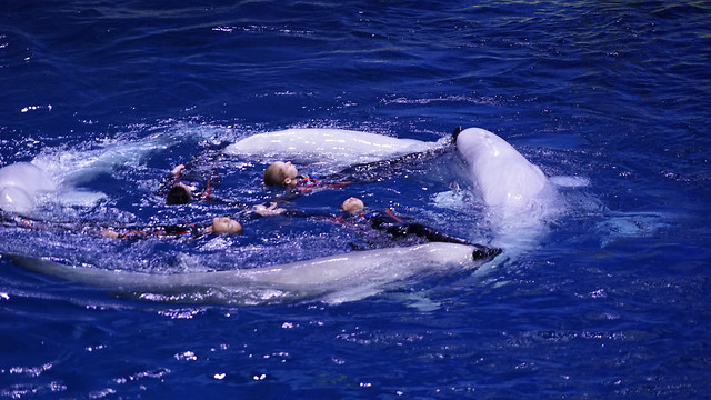 water-blower-swimming-whale-dolphin picture material
