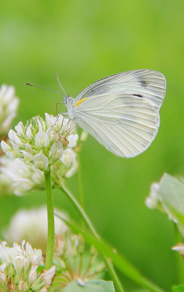 nature-butterfly-summer-insect-leaf picture material