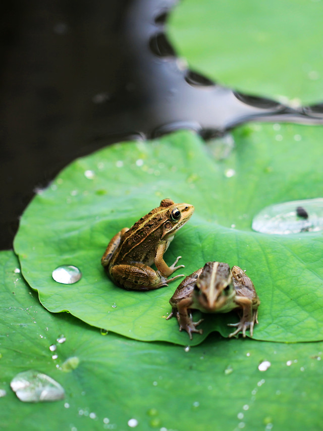 frog-leaf-nature-no-person-water 图片素材