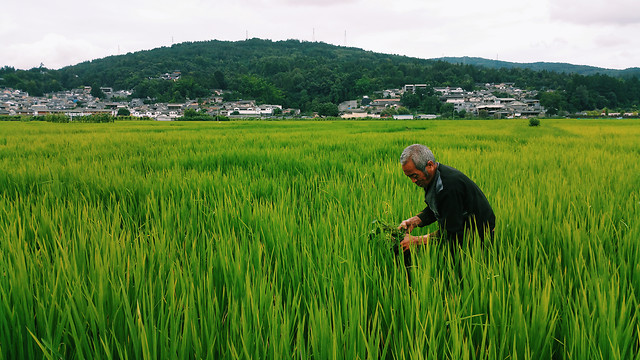 rice-paddy-cropland-cereal-agriculture picture material
