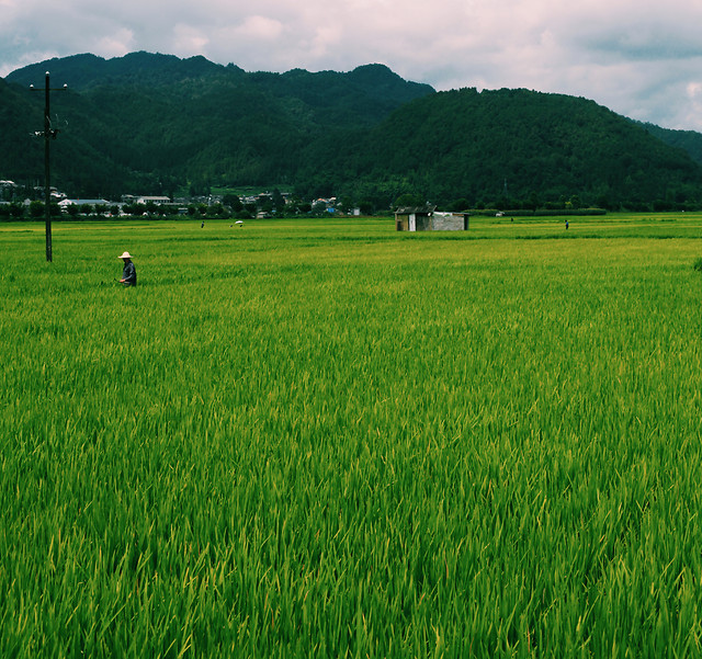 agriculture-farm-field-rice-landscape picture material