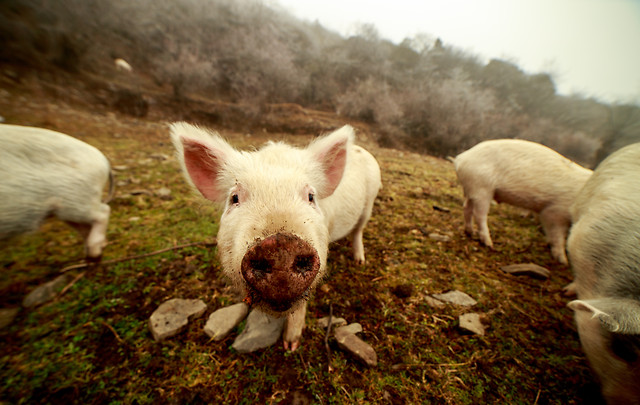 farm-mammal-livestock-animal-piglet picture material