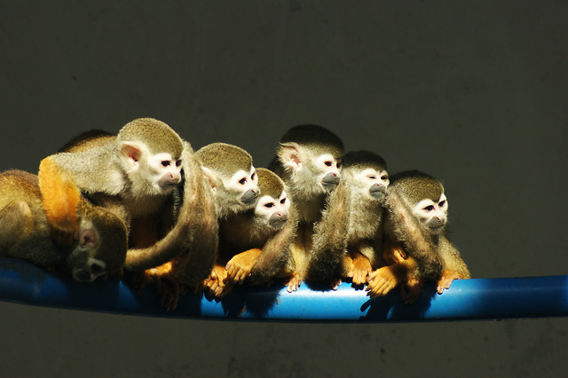 monkey-primate-mammal-wildlife-no-person picture material