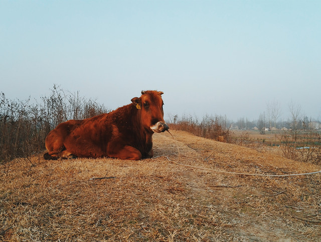 no-person-mammal-agriculture-cattle-cow picture material
