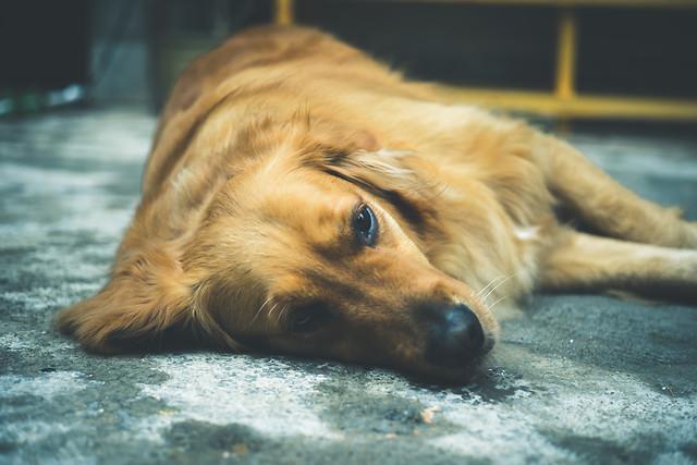 dog-pet-no-person-mammal-portrait picture material