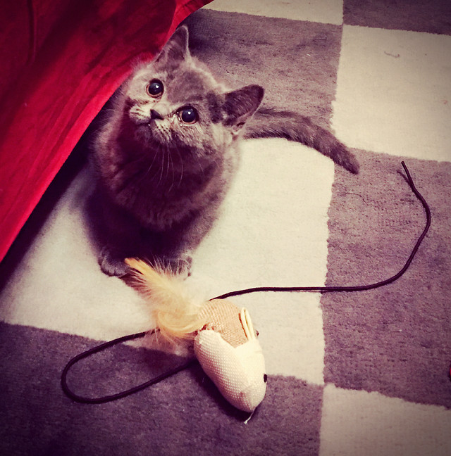cat-kitten-pet-cute-mammal picture material