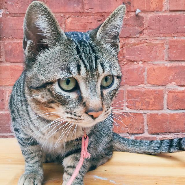 cat-animal-cute-fur-pet picture material