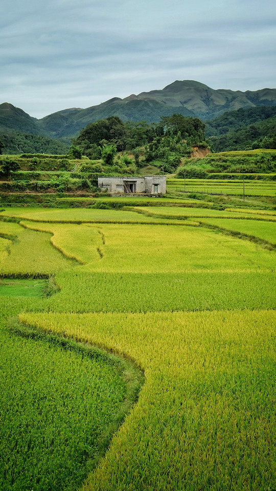 rice-agriculture-landscape-farm-paddy picture material