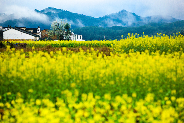 field-landscape-agriculture-flower-rural picture material