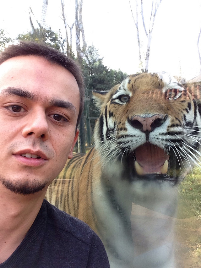 wildlife-mammal-face-tiger-head picture material