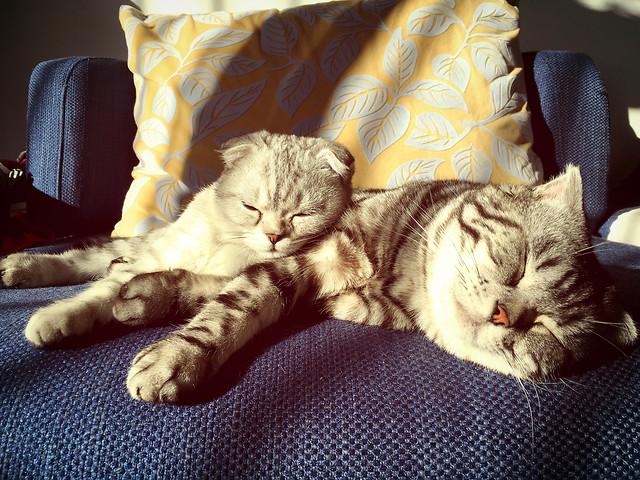 cat-pet-sleep-domestic-portrait picture material