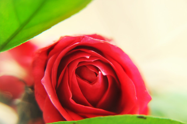flower-rose-love-petal-romance picture material
