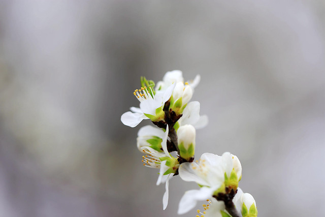 nature-flower-no-person-cherry-apple picture material