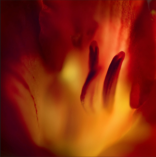 blur-no-person-flower-tulip-abstract picture material
