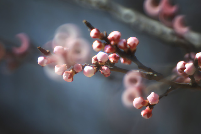 flower-cherry-tree-branch-apple picture material