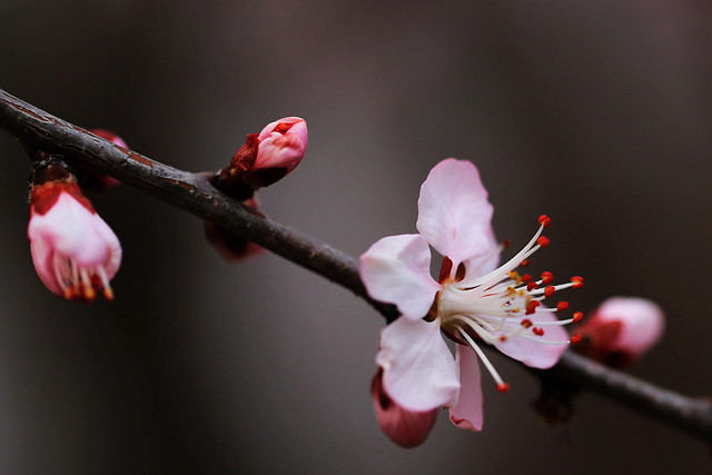 flower-cherry-apple-no-person-nature picture material