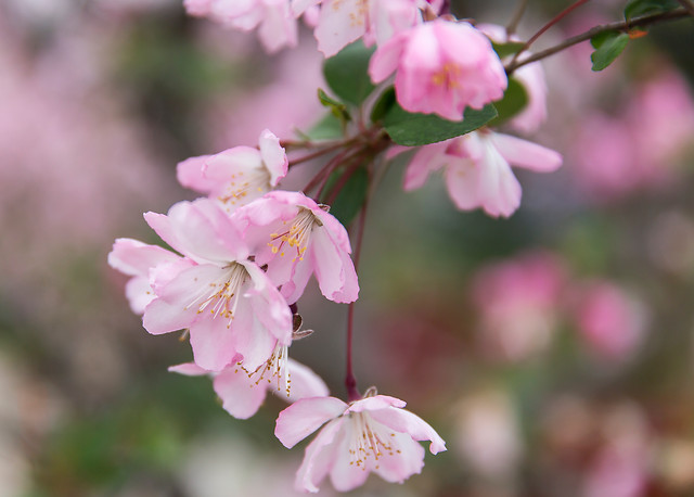 flower-nature-no-person-cherry-tree picture material