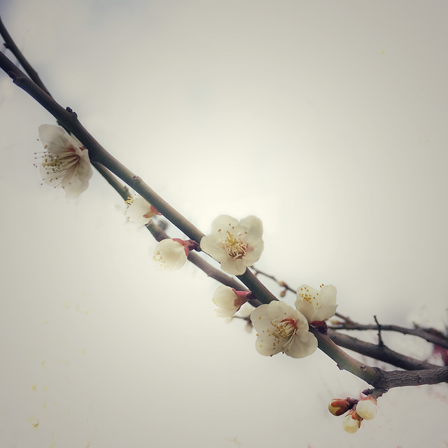 cat-branch-flower-cherry-tree picture material