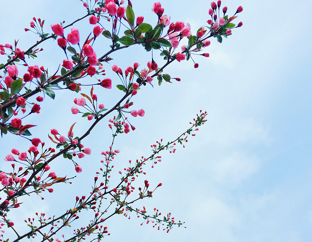 branch-flower-tree-cherry-nature picture material