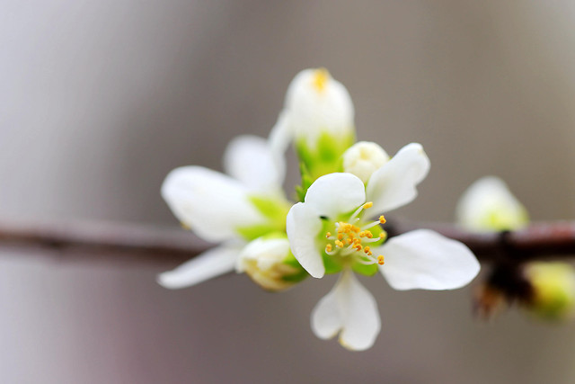 nature-flower-no-person-apple-bud picture material