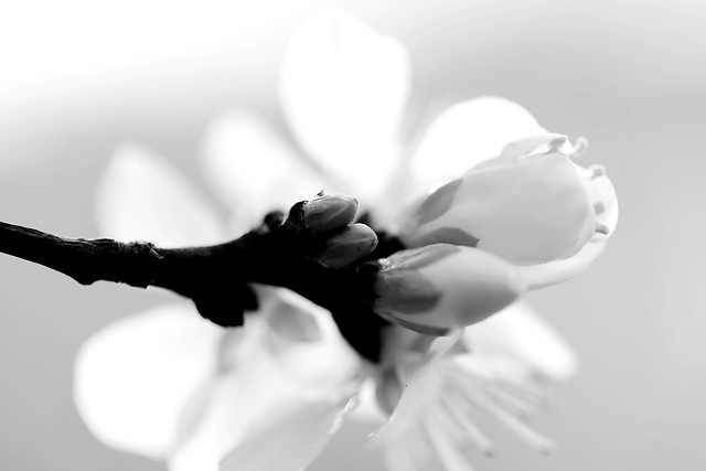 flower-monochrome-nature-flora-leaf picture material