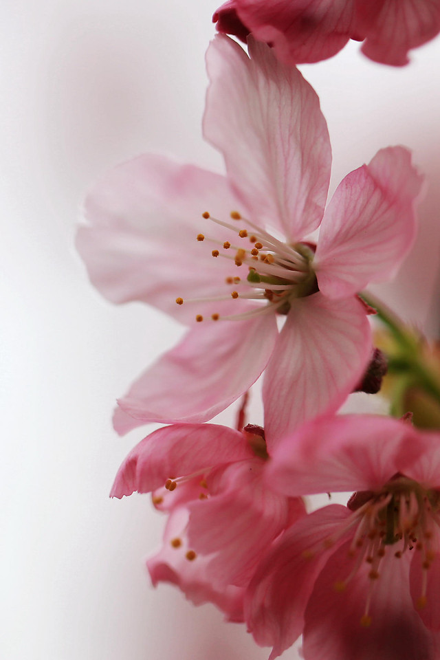 flower-nature-no-person-cherry-flora picture material