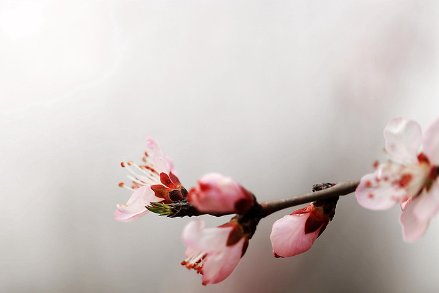 flower-nature-cherry-no-person-blur picture material