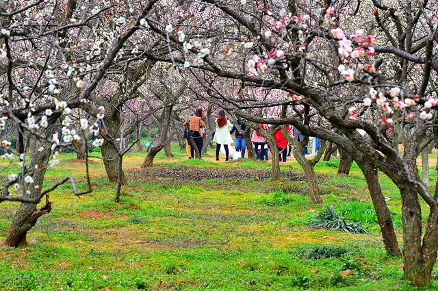 tree-cherry-flower-branch-landscape 图片素材