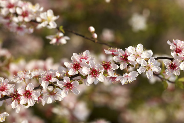 flower-cherry-flora-tree-garden picture material