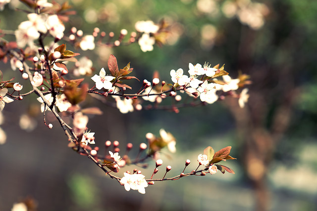 flower-nature-cherry-no-person-tree picture material