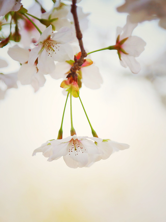 flower-nature-cherry-no-person-leaf picture material