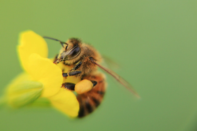 bee-insect-nature-no-person-honey-bee picture material