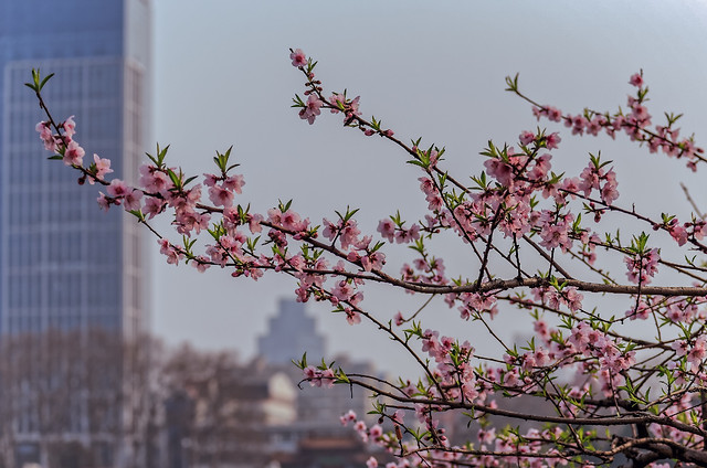 flower-branch-cherry-tree-bud picture material