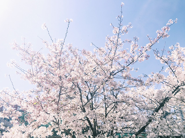 cherry-tree-branch-season-flower picture material